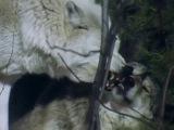 Поле Битвы - Волки ✤ WOLF BATTLEFIELD ✤_BBC_☆ [►Дикâя • Природâ • Фильм◄].